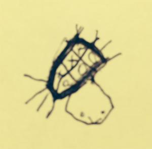 Bergies Spider
